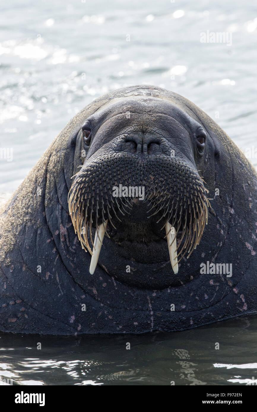 Atlantic walrus (Odobenus rosmarus rosmarus), Andréetangen headland, Edgeøya (Edge Island), Svalbard Archipelago, - Stock Image