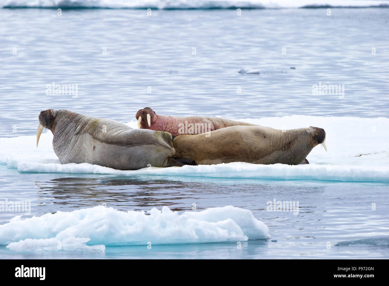 Atlantic Walruses Stock Photos & Atlantic Walruses Stock