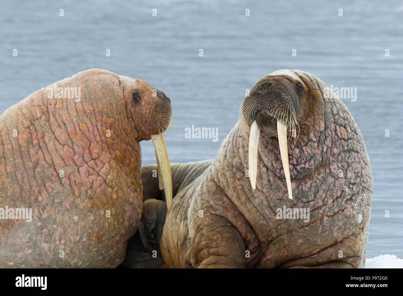 Atlantic walruses (Odobenus rosmarus rosmarus), resting on ice floe, Svalbard Archipelago, Arctic Norway. - Stock Image