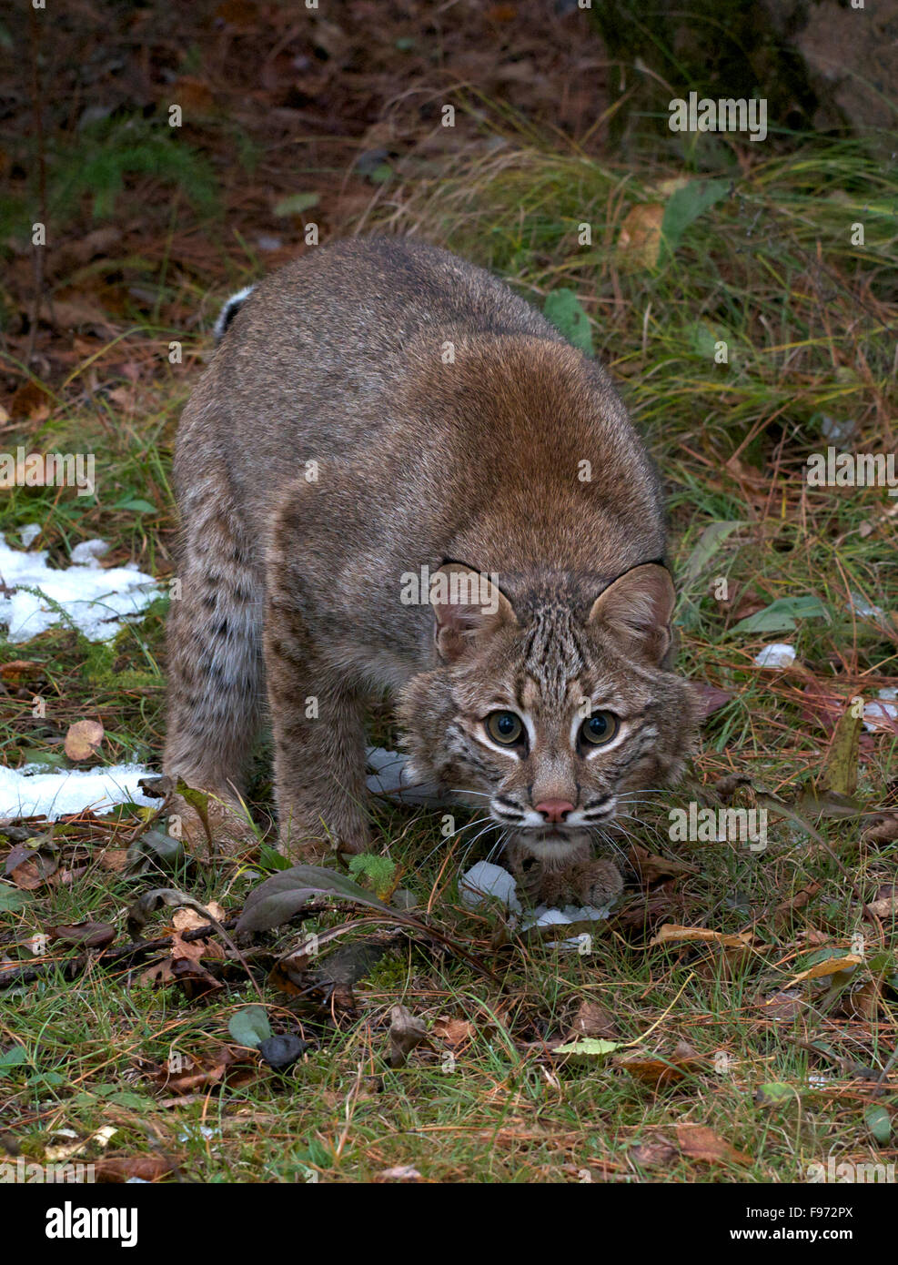 Bobcat (Lynx rufus), Superior National Forest, MN, USA - Stock Image