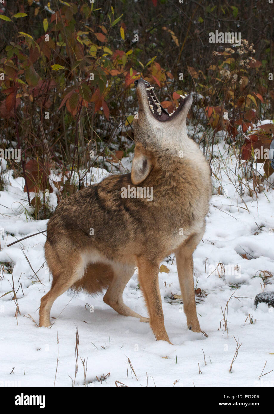 Coyote (Canis latrans), howling, Superior National Forest, MN, USA - Stock Image