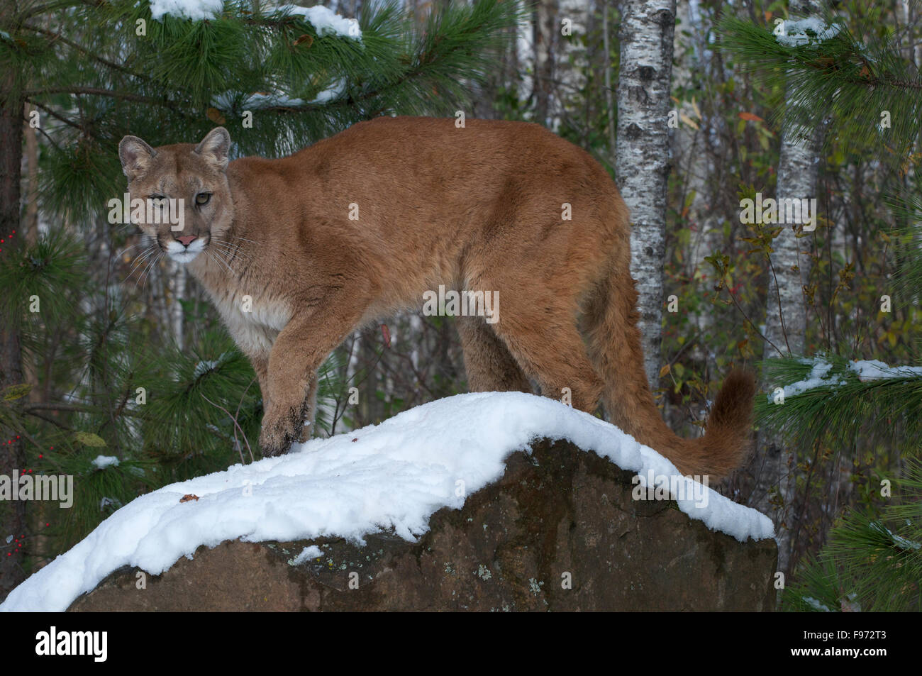 Mountain Lion/Cougar standing on snowcovered boulder in boreal forest;  (Puma concolor) North America, winter. - Stock Image