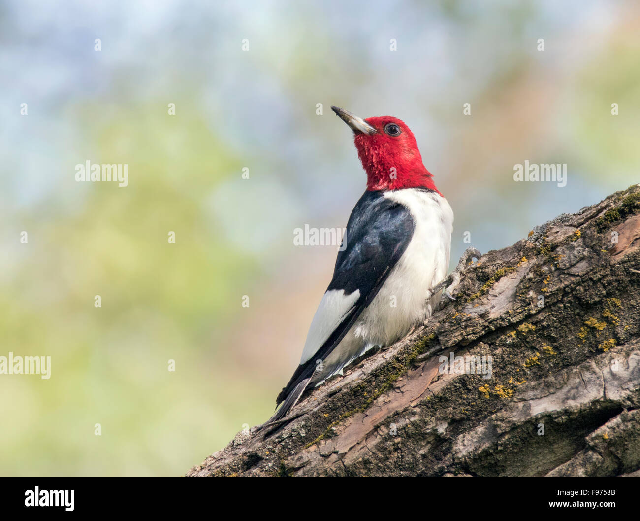 A Redheaded Woodpecker (Melanerpes erythrocephalus)  perched on a tree in Theodore Roosevelt National Park - Stock Image