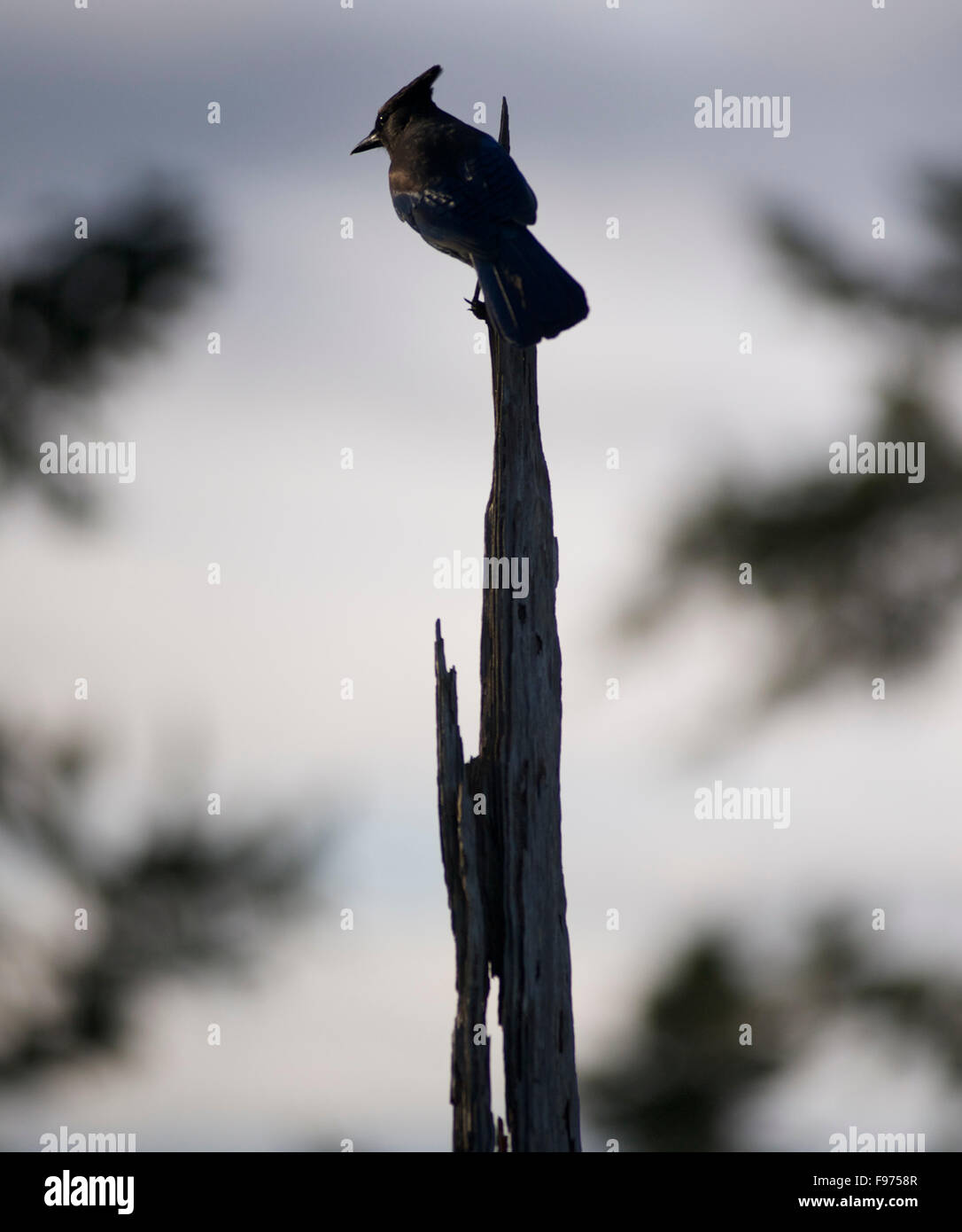 A Steller's jay perches atop a dead tree in Northern California. - Stock Image