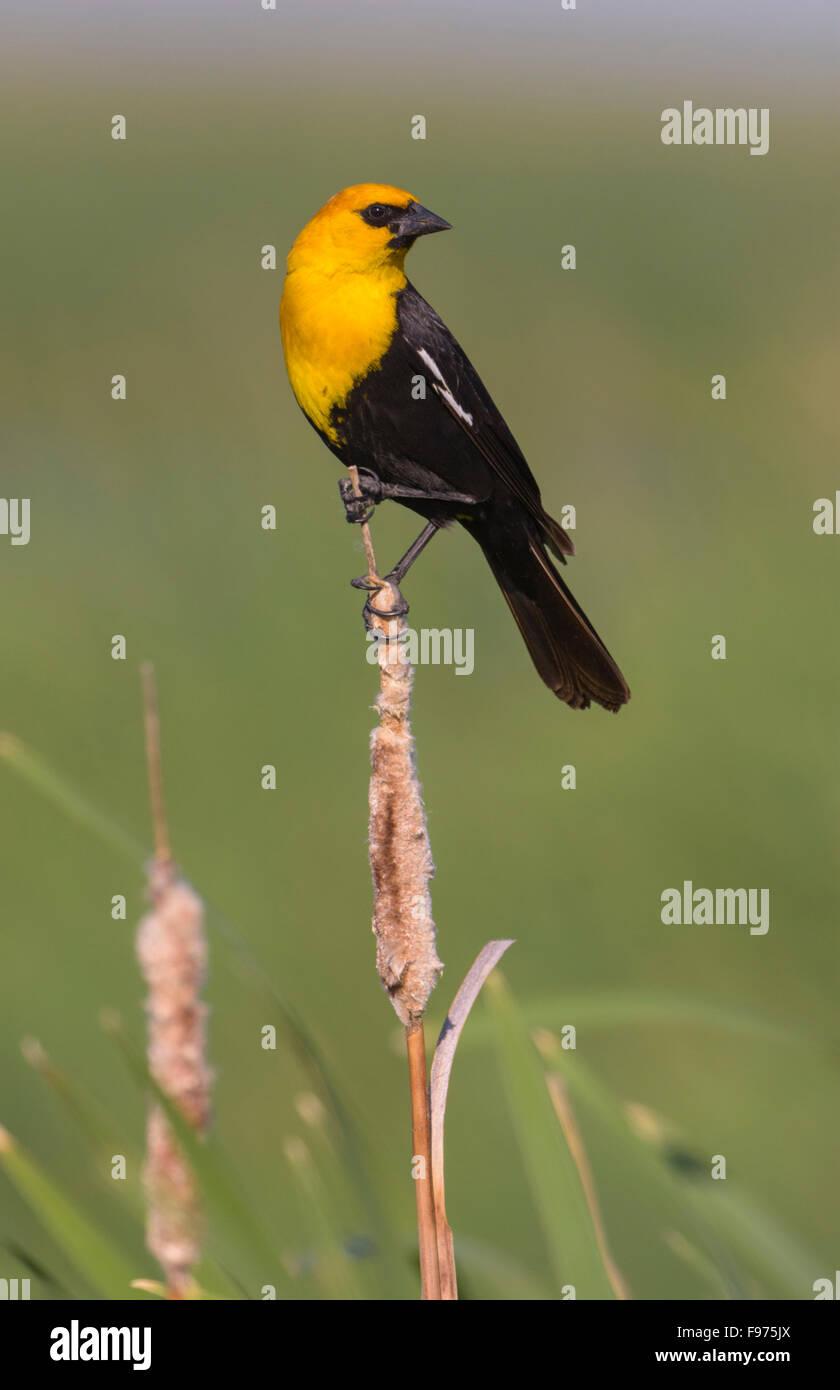Yellowheaded Blackbird  Alberta - Stock Image