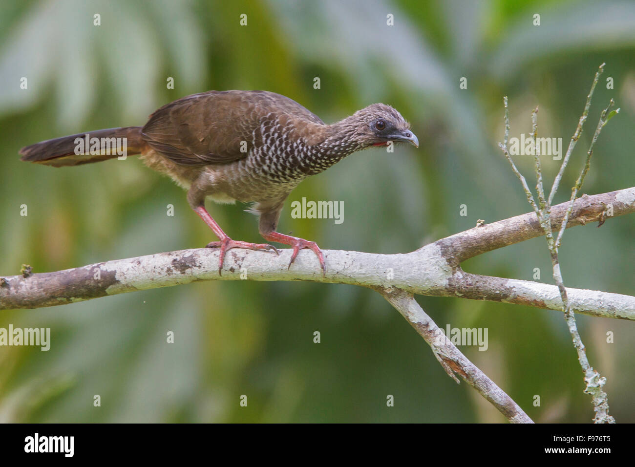 Speckled Chachalaca (Ortalis guttata) perched on a branch in Manu National Park, Peru. - Stock Image