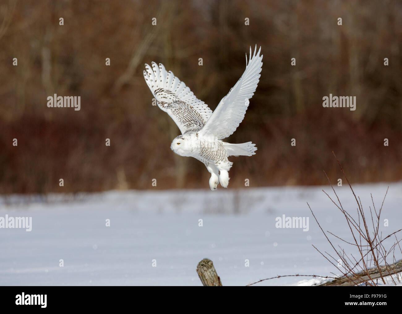 Snowy Owl, Bubo scandiacus, Ontario, Canada, February 2013 Stock Photo