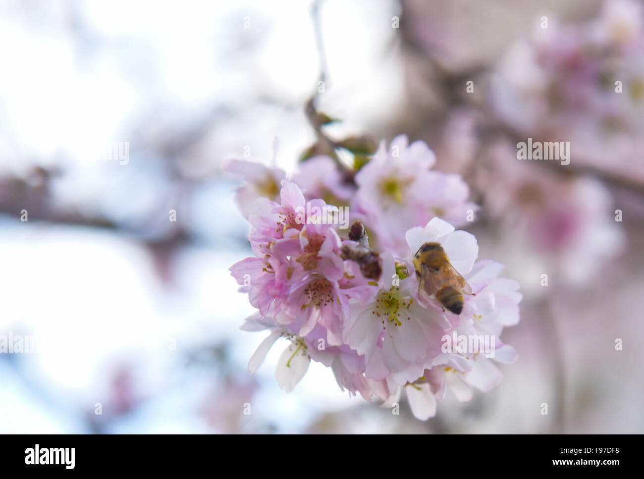 Washington, DC, USA. 14th Dec, 2015. Cherry blossoms are seen on the street in Washington, DC, capital of the United Stock Photo