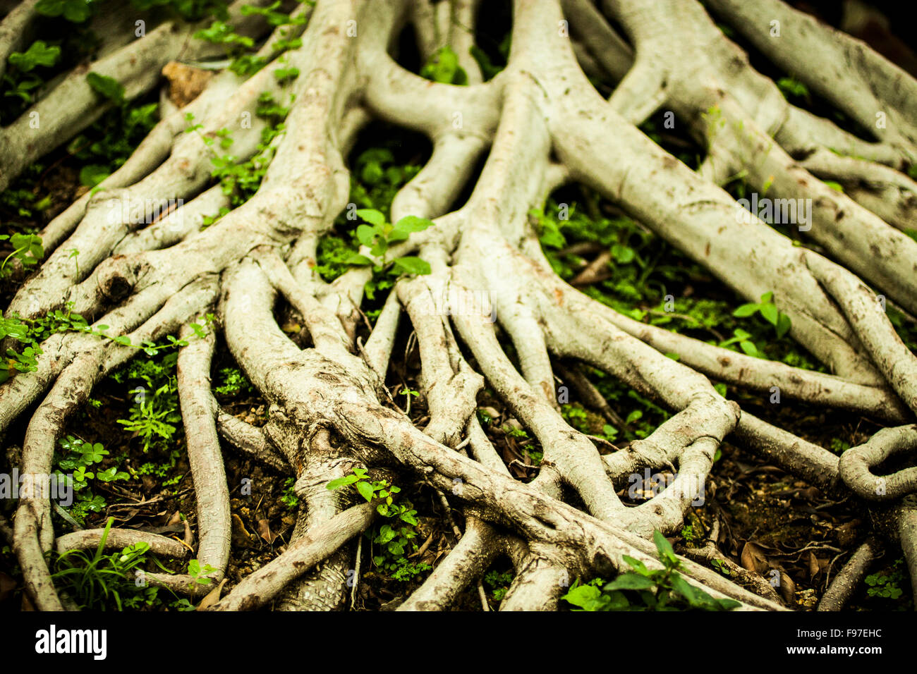 Sprawling roots of a tree. - Stock Image