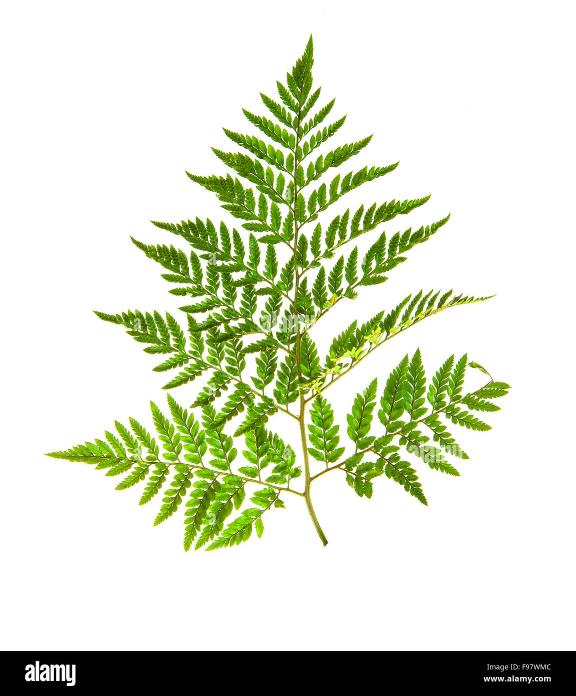 Fern isolated on white - Stock Image