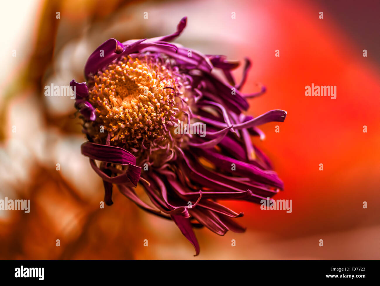 Single Macro Image Of A Dying Purple Chrysanthemum Flower With A Stock Photo Alamy