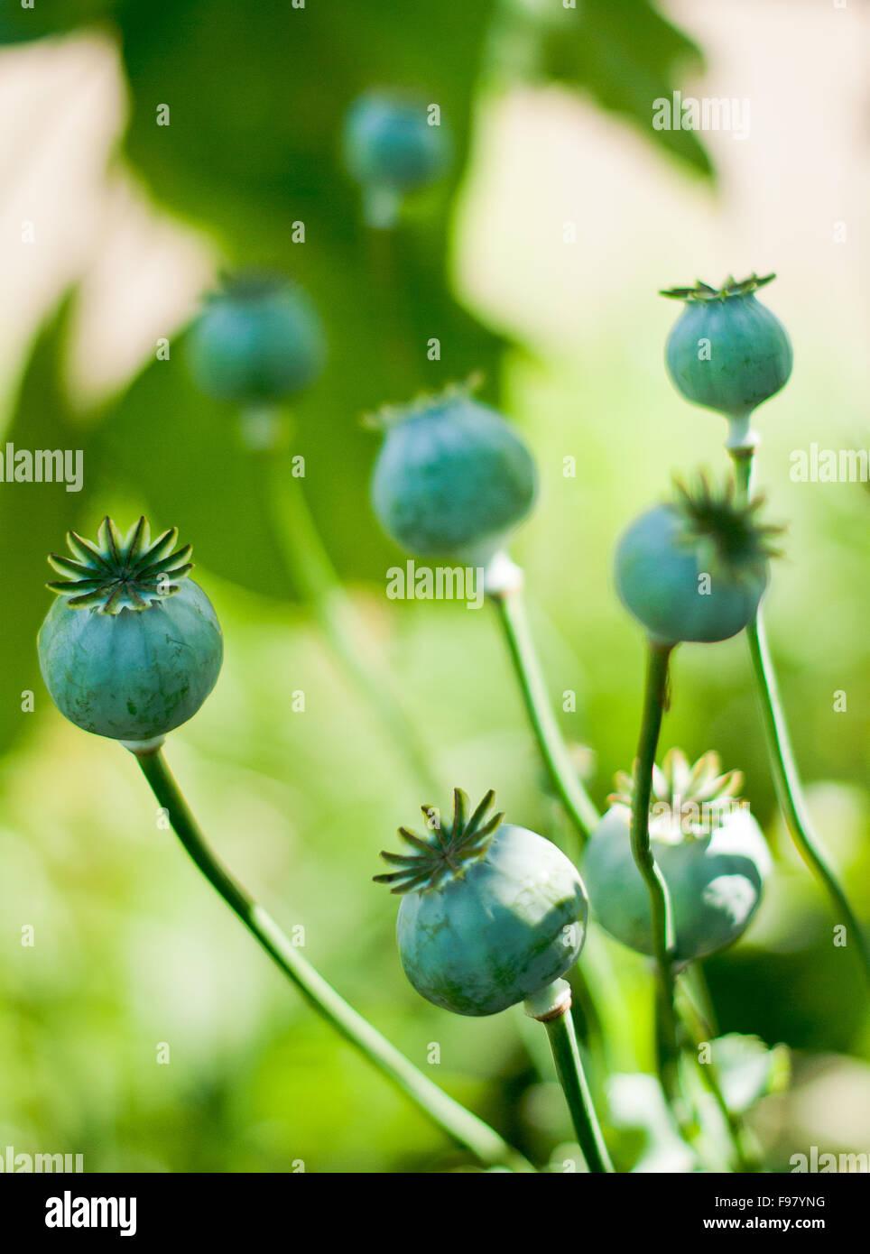 Close Up Of Poppy Flower Buds Stock Photo 91759180 Alamy