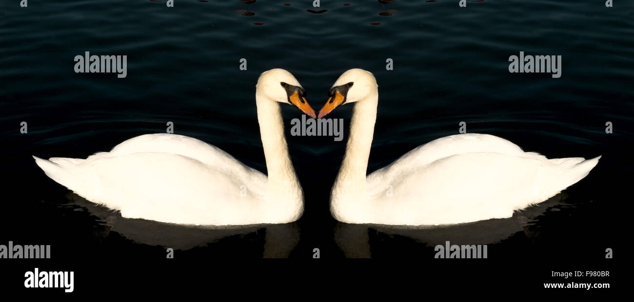 Two swans form a symmetrical pattern as they swim and glide on the surface of a warm lake. - Stock Image