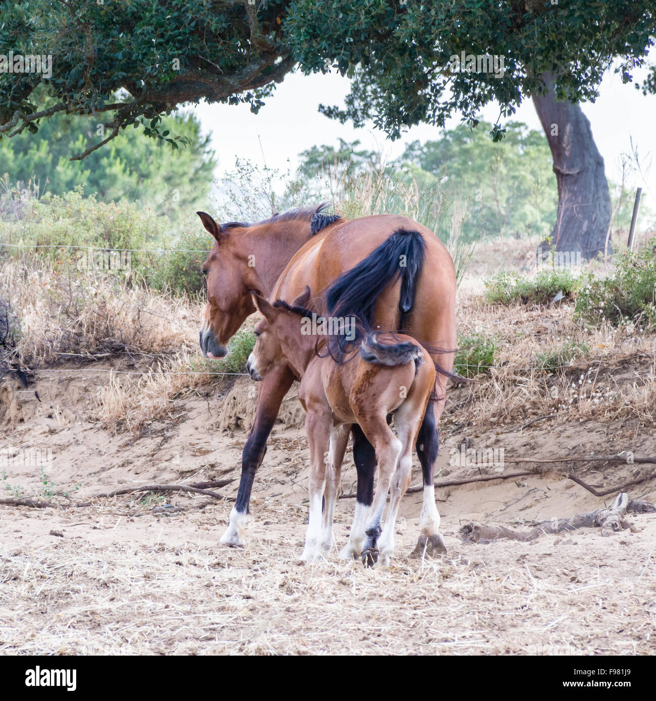 parents sons horses. Image of horses with 'horse mummy' and baby horse. Anglo Arab Sardinian race - Stock Image