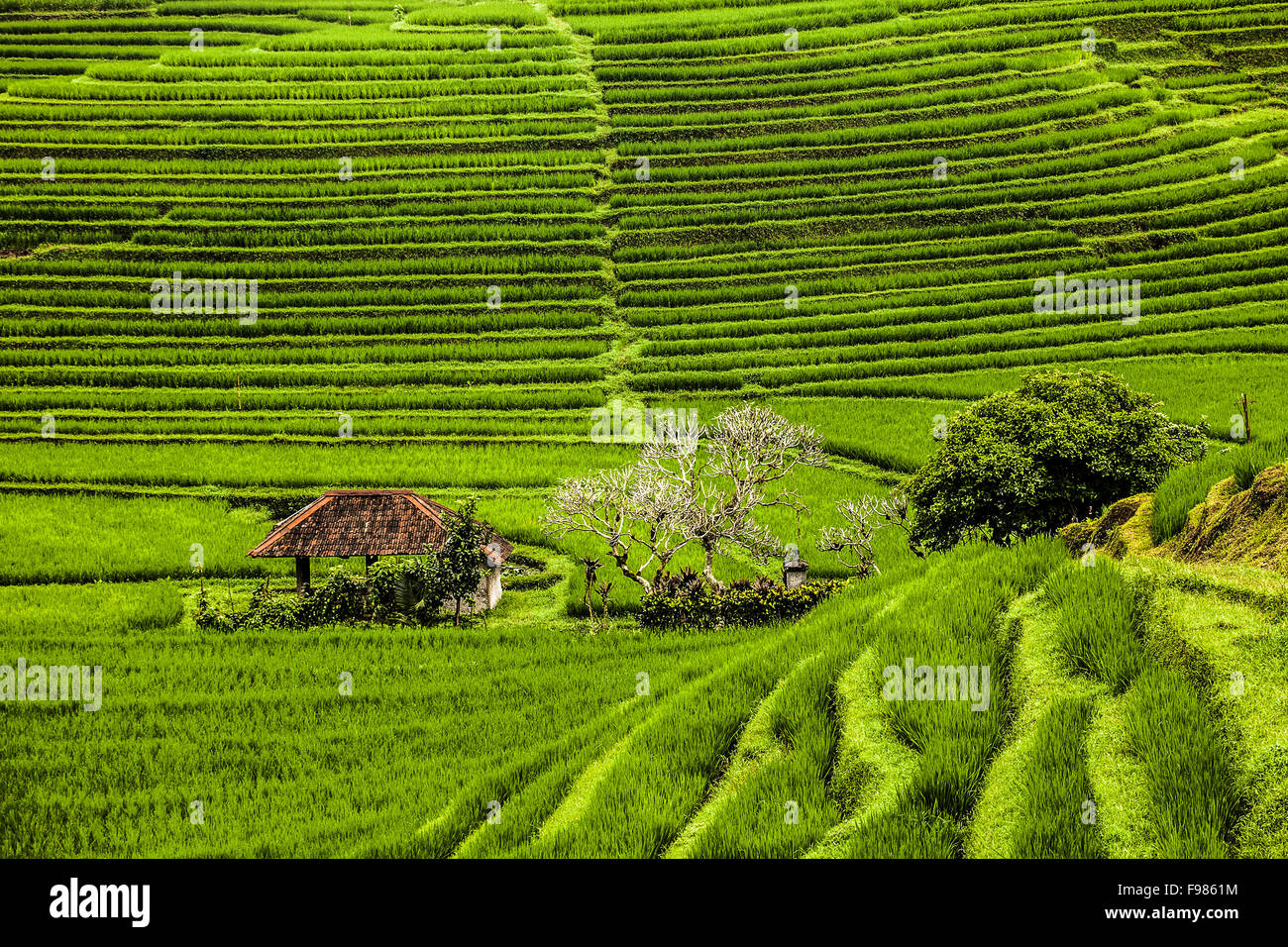Rice terraces on Bali - Stock Image