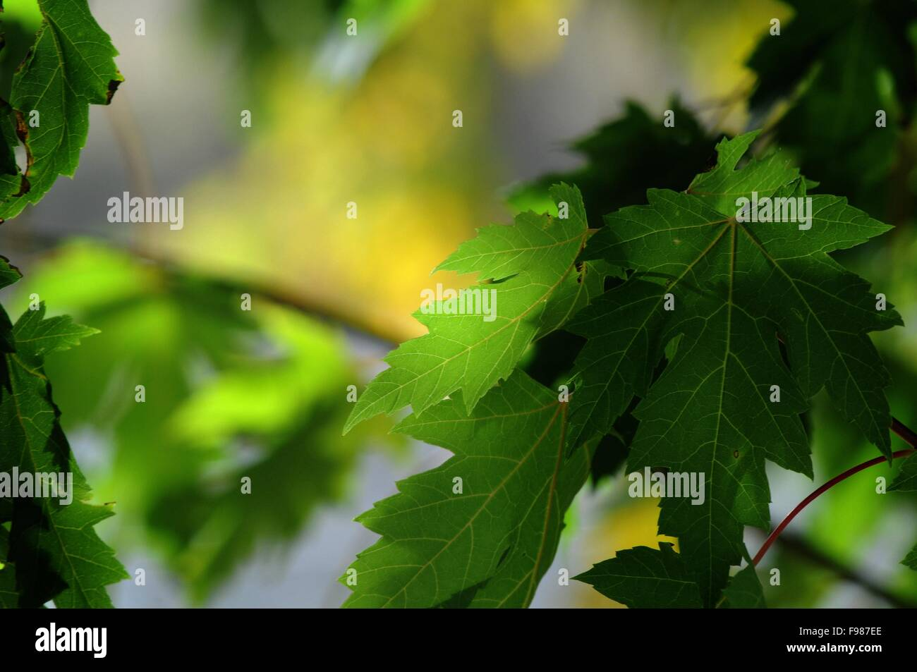 Maple leaves in summer - Stock Image