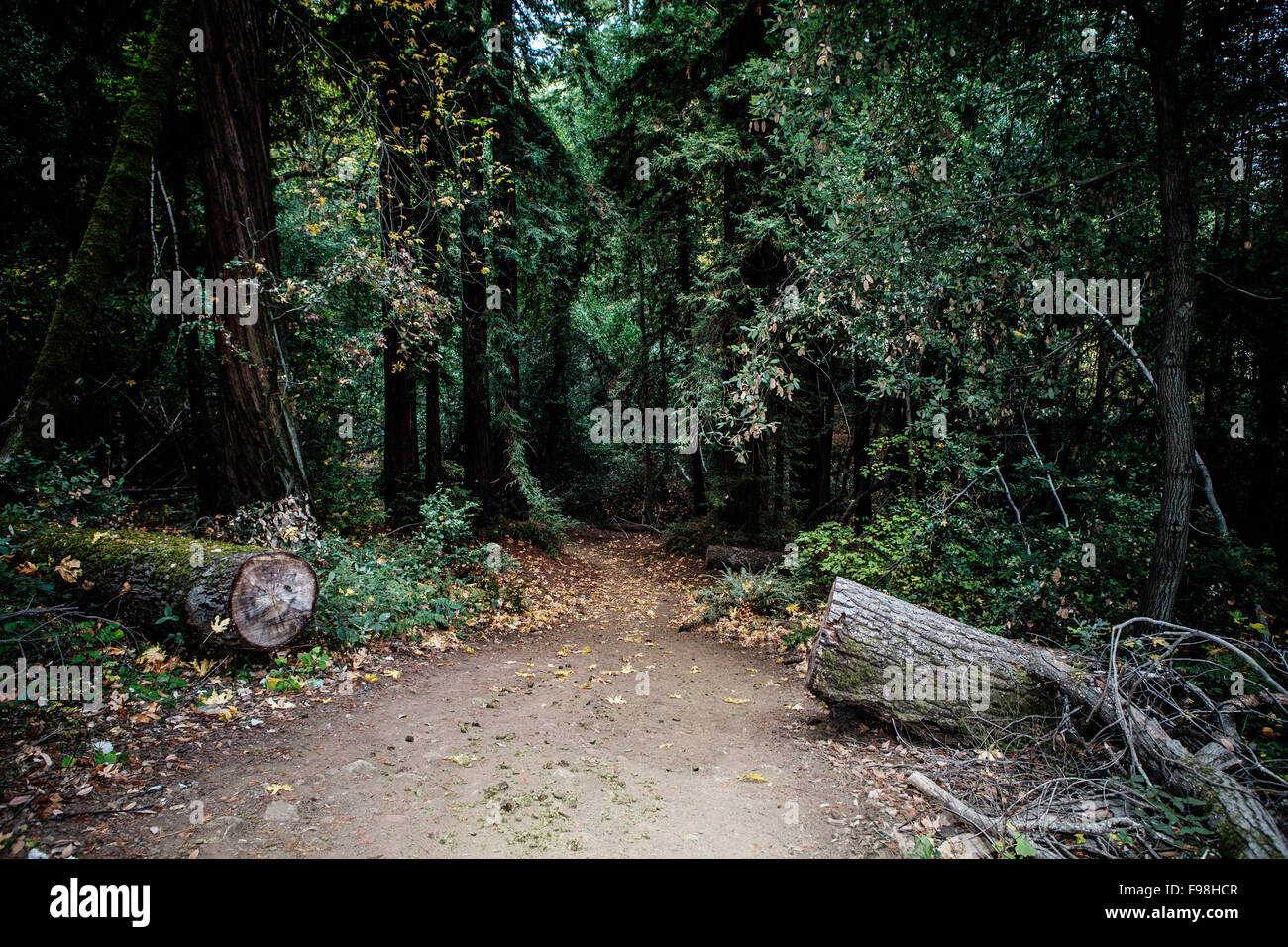 A wide trail leading into a grove of redwoods trees. - Stock Image