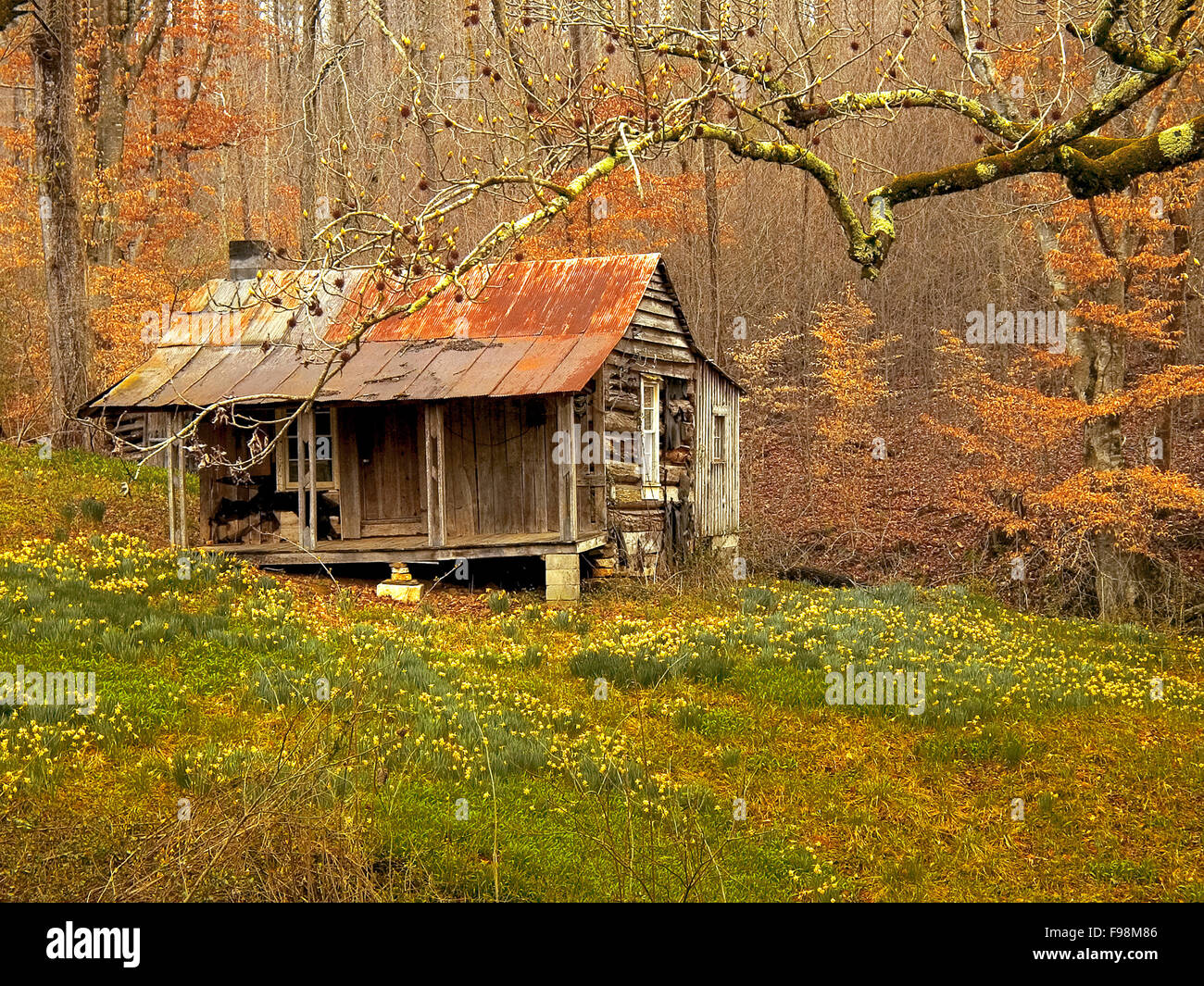 Spring jonquils bloom and flower outside an abandoned log cabin in a wood hollow in the Blue Ridge Mountains of - Stock Image