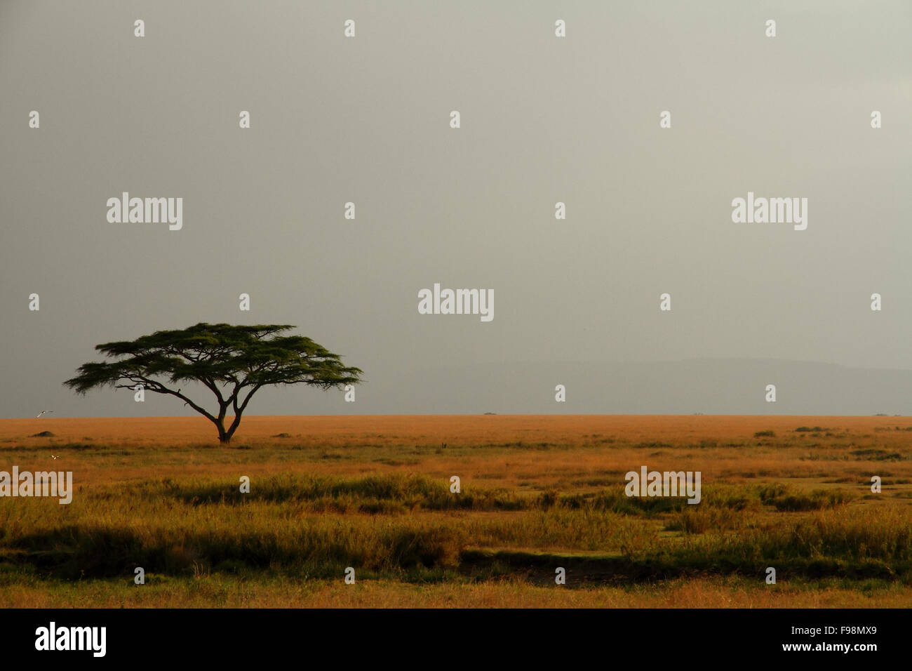 A lone acacia tree on the Serengeti set against a misty and expansive sky - Stock Image