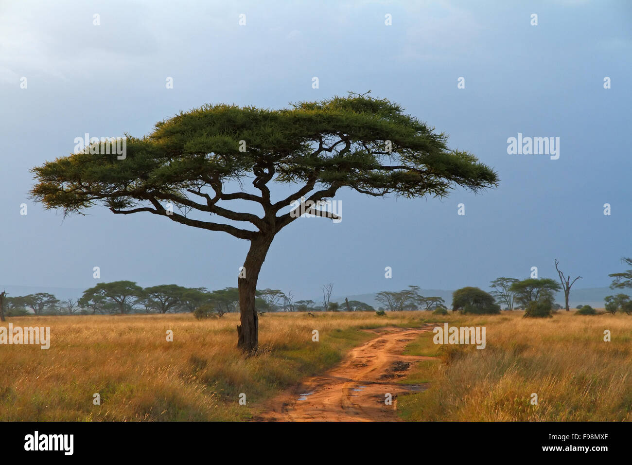 A lone Acacia tree with a dirt road running along beside it - Stock Image