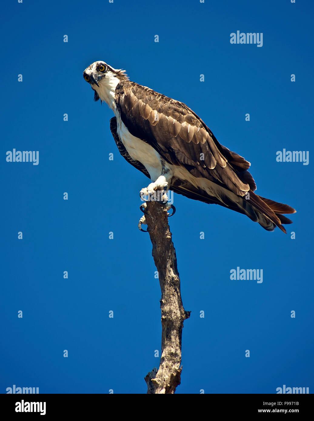 An osprey perches atop a tree branch in Florida. - Stock Image