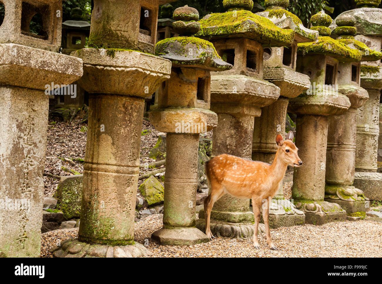Sika deer and stone lanterns at Kasuga Taisha in Nara, Japan - Stock Image