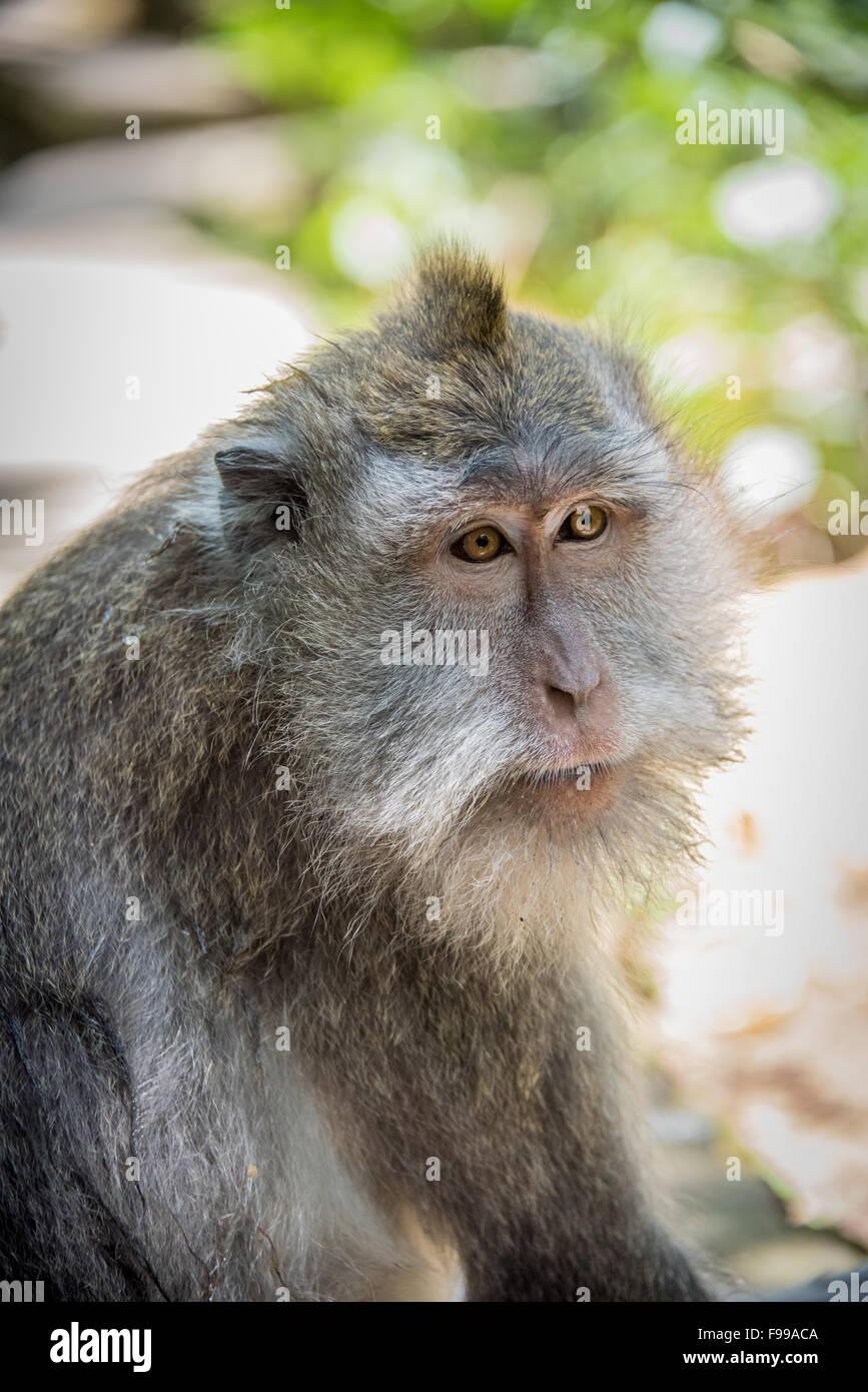 Long Tailed Macaque, Ubud Monkey Forest, Bali, Indonesia - Stock Image
