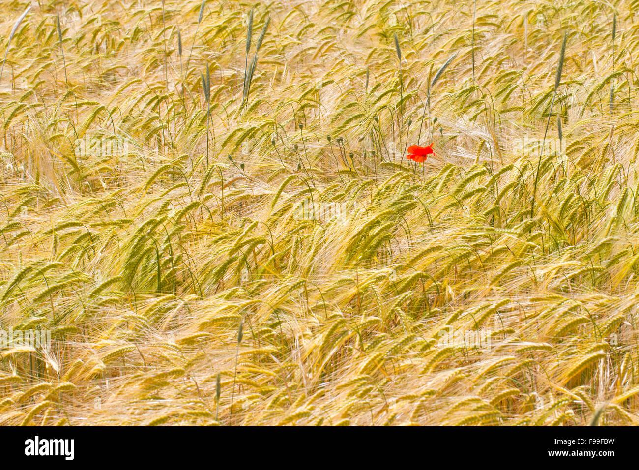 Corn Poppy (Papaver rhoeas), single flower in a crop of Durum wheat (Triticum durum). Causse de Gramat, Lot region, - Stock Image