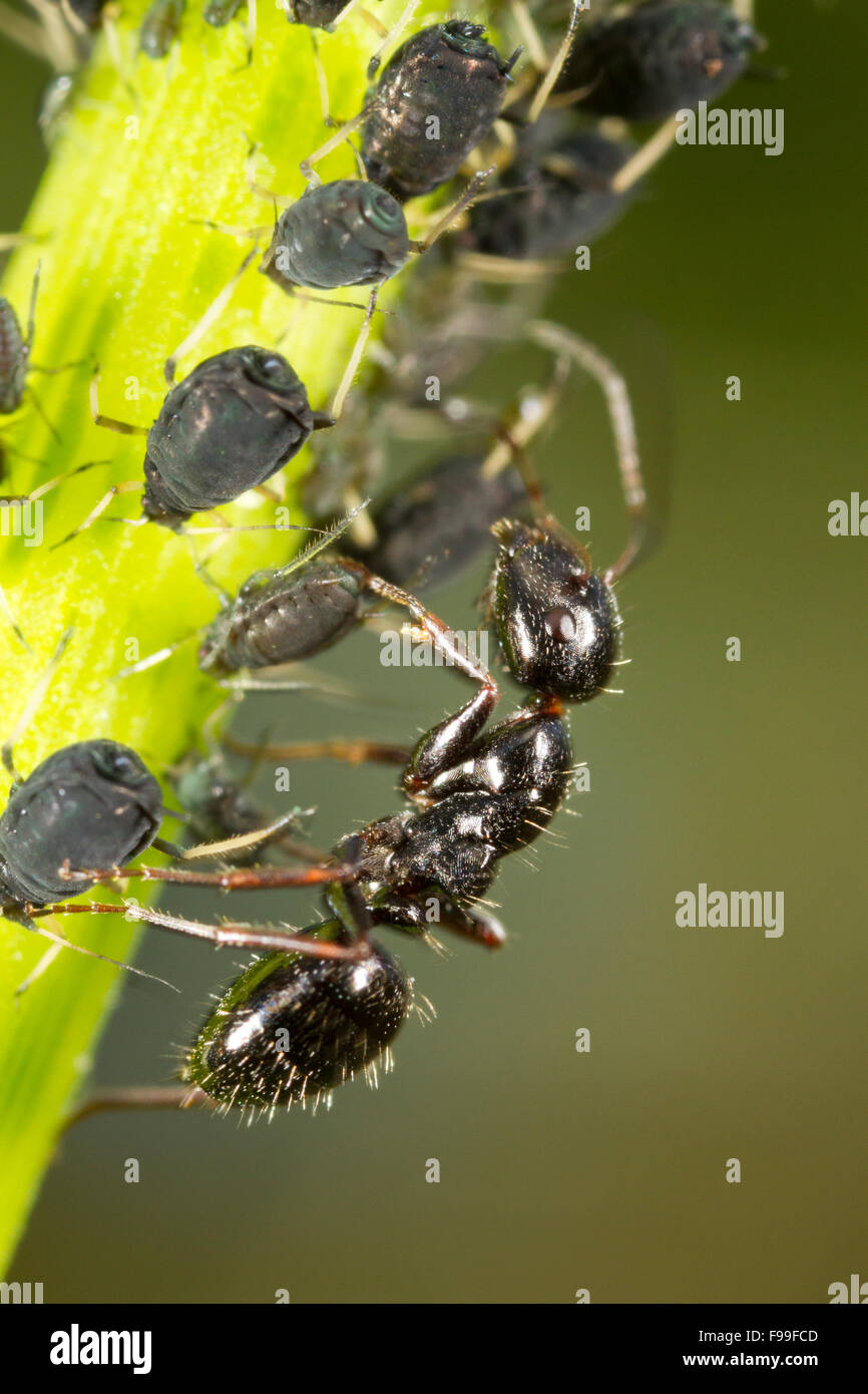 Carpenter ant (Camponotus piceus) adult worker tending aphids on a stem. Causse de Gramat, Massif Central, Lot region, - Stock Image