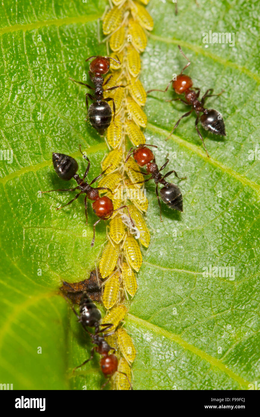 Ant Crematogaster scutellaris adult workers tending aphids on a walnut leaf. Causse de Gramat, France. - Stock Image