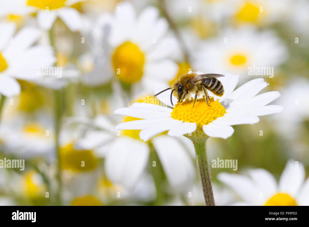 Bare-saddled Colletes or Plasterer Bee (Colletes similis) adult male feeding on Stinking Chamomile (Anthemis cotula) - Stock Image
