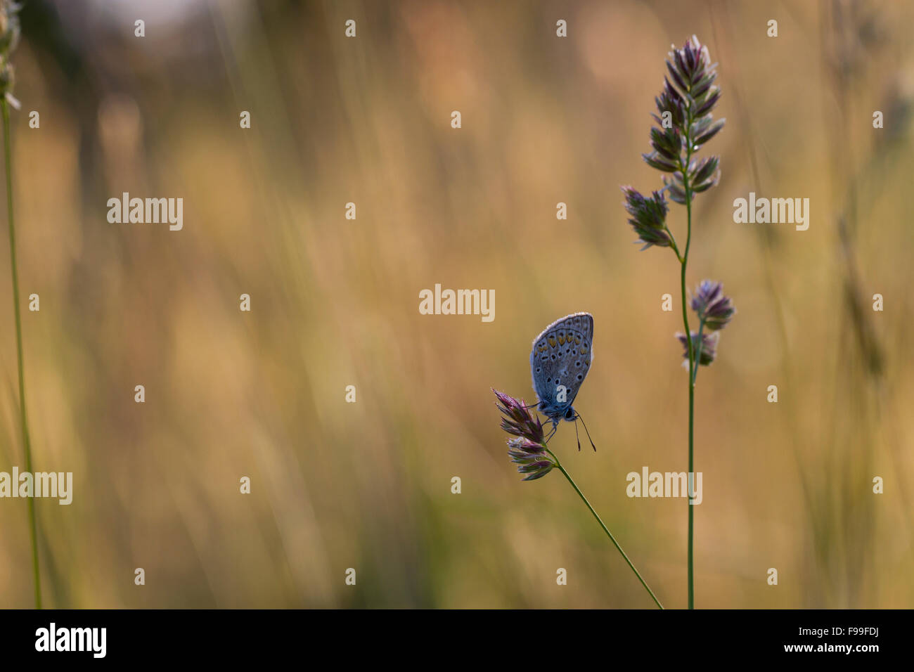 Common Blue butterfly (Polyommatus icarus) adult resting on a grass flowerhead. Causse de Gramat, France. - Stock Image