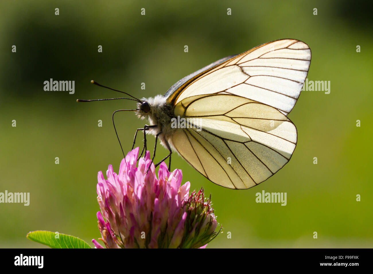 Black-veined White butterfly (Aporia crataegi) adult feeding on Red Clover (Trifolium pratense) in a meadow. Ariege - Stock Image
