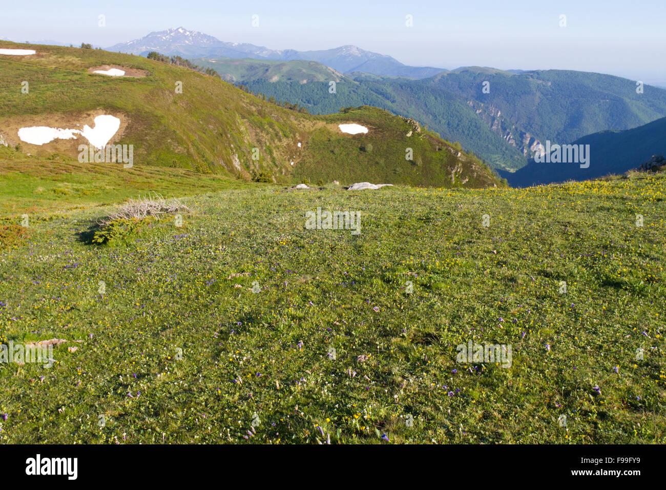 Habitat - Alpine pasture with flowering Gentians (Gentiana sp.). Col de Pailhères, Ariege Pyrenees, France. - Stock Image