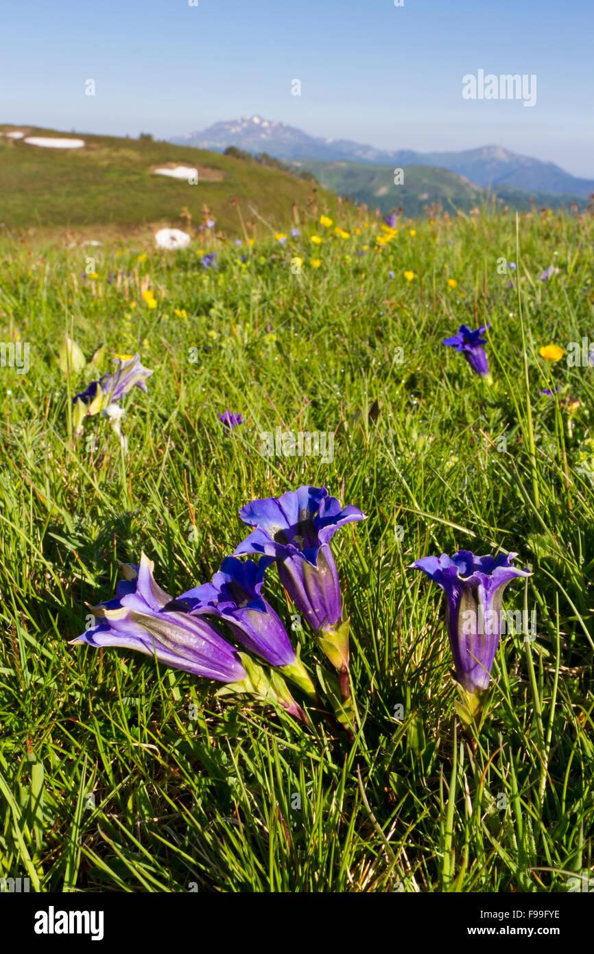 Trumpet Gentians (Gentiana acaulis) flowering in alpine pasture. Col de Pailhères, Ariege Pyrenees, France. - Stock Image