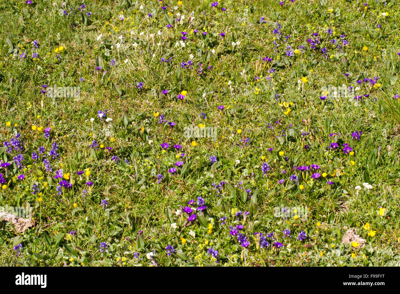 Pyrenean Gentians (Gentiana pyrenaica) and other wildflowers flowering in an alpine meadow.  Col de Pailhères, - Stock Image