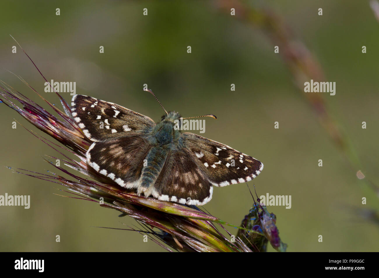 Oberthur's Grizzled Skipper (Pyrgus armoricanus) adult butterfly basking on a dewy morning. Aude, French Pyrenees - Stock Image