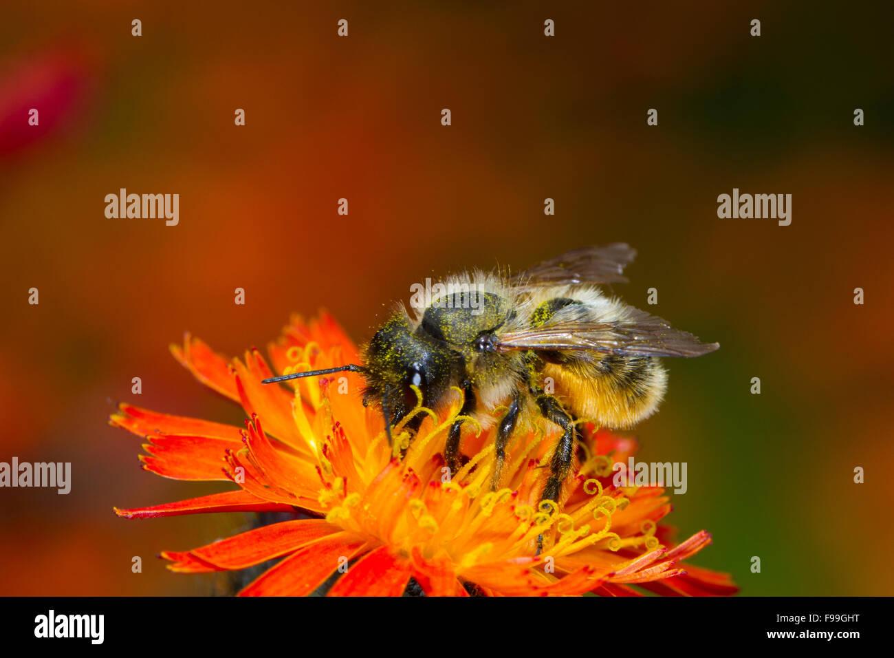 Red Mason Bee (Osmia bicornis) adult female feeding on Orange Hawkweed (Pilosella aurantiaca) flowers. Powys, Wales, - Stock Image