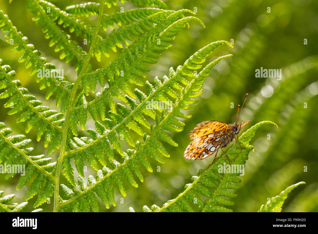 Small Pearl-bordered Fritillary (Boloria selene) underside of an adult butterfly dasking on a fern frond. Powys, - Stock Image