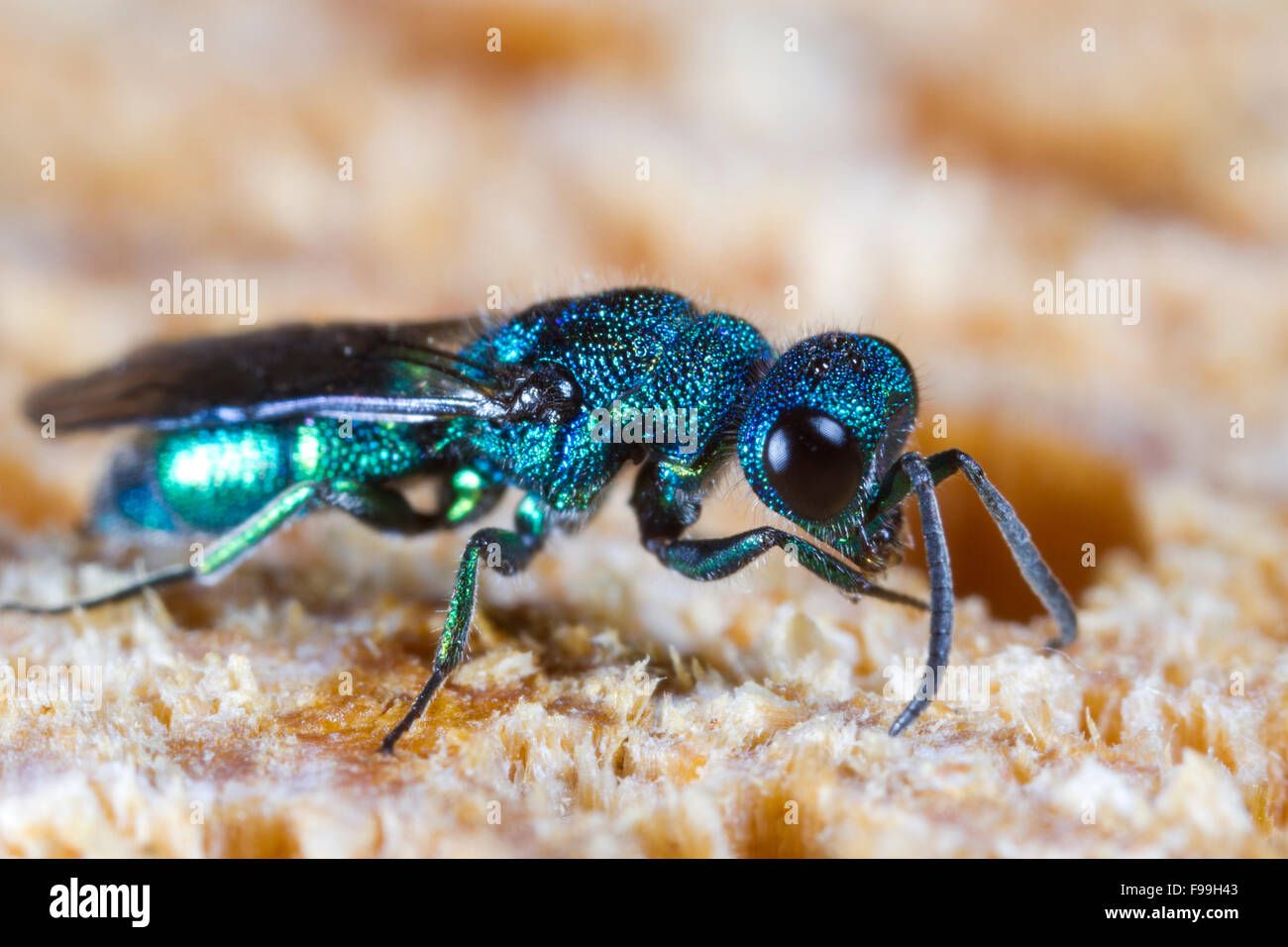 Blue Jewel or Cuckoo Wasp (Trichrysis cyanea) adult female on wood, using antenna to search for nests of host wasps. - Stock Image