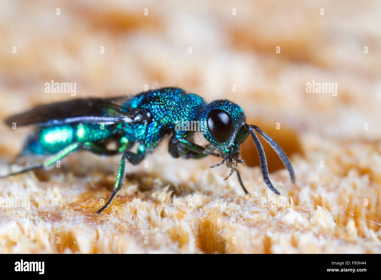 Blue Jewel or Cuckoo Wasp (Trichrysis cyanea) adult female on wood, cleaning a leg. Powys, Wales. July.   Tree Wasp - Stock Image