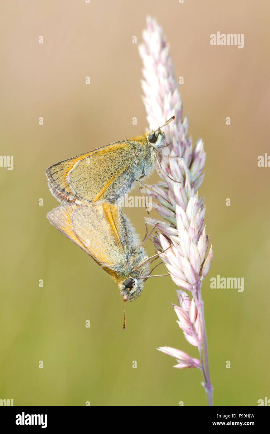 Small Skipper (Thymelicus sylvestris) adult butterflies mating on a grass stalk. Powys, Wales. July. - Stock Image