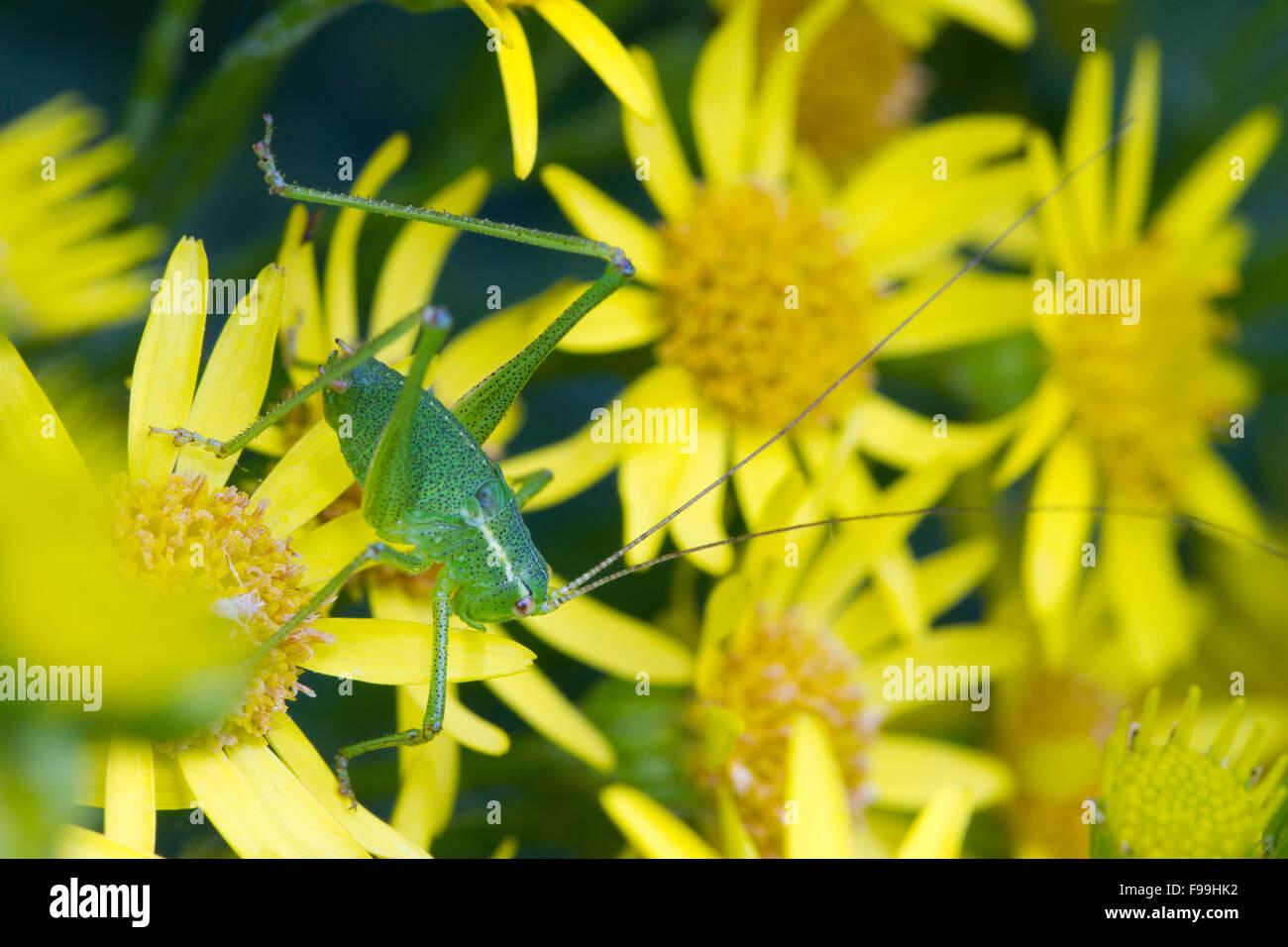 Speckled bush-cricket (Leptophyes punctatissima) large nymph on Common Ragwort (Senecio jacobaea) flowers. Carmarthen, - Stock Image