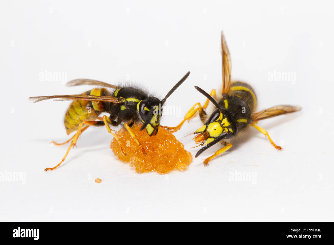 Red Wasp (Vespula rufa) and Tree Wasp (Dolicovespula sylvestris) adult workers feeding on honey against a white Stock Photo