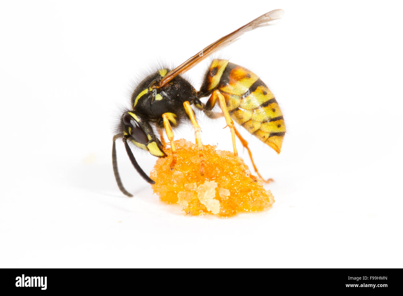 Red Wasp (Vespula rufa) adult worker feeding on honey against a white background. Powys, Wales, August. Stock Photo