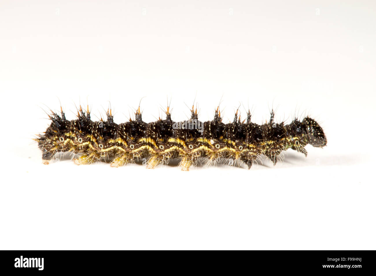 Small Tortoiseshell (Aglais urticae) full-grown larva photographed against a white background. Powys, Wales, August. - Stock Image