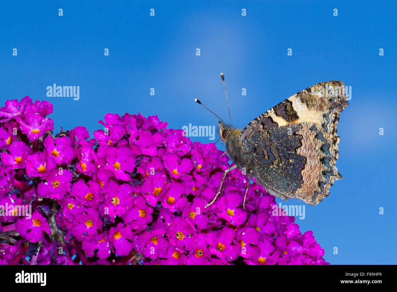 Small Tortoiseshell butterfly (Aglais urticae) adult feeding on Buddleia davidii 'Royal Red' in a garden. - Stock Image