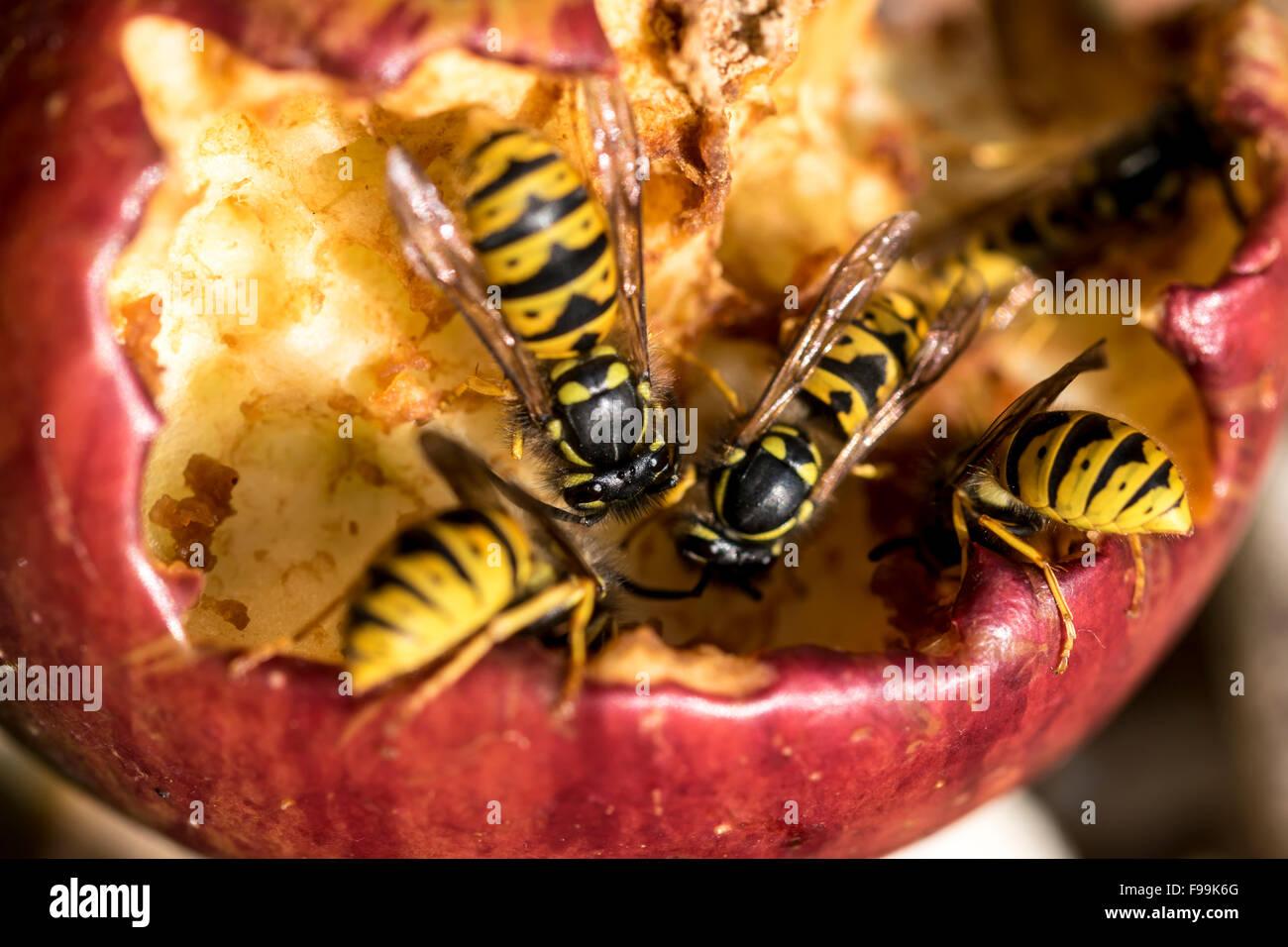 Common Wasp Vespula vulgaris feeding on sugars from a rotten garden apple - Stock Image