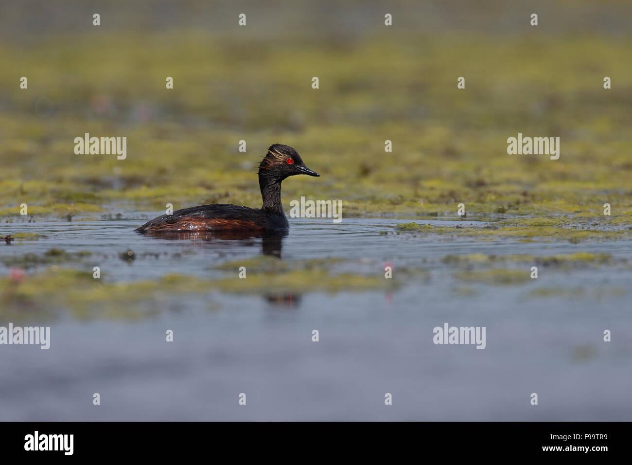Black-necked grebe, Schwarzhalstaucher, Schwarzhals-Taucher, Taucher, Podiceps nigricollis - Stock Image