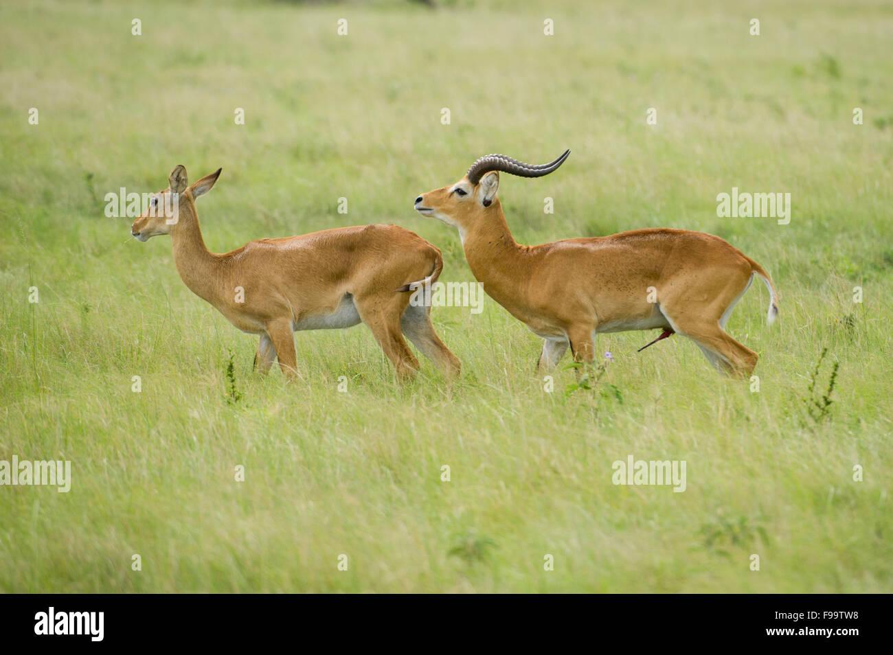 Male Uganda Kob trying to mate with female (kobus kob thomasi), Ishasha sector in Queen Elizabeth National Park, - Stock Image